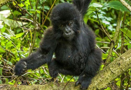 4 Day Rwanda Gorilla Trekking Safariris